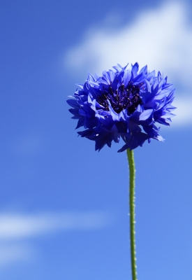 Blue Flower by Tina Phillips